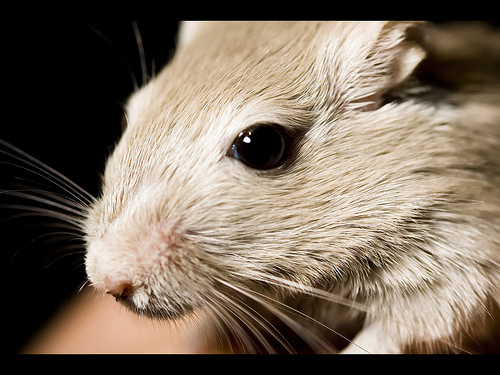 gerbil picture