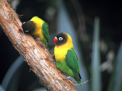 Cute funny Masked Lovebirds