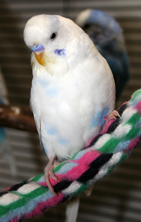 Our Flock Of Budgie Parakeets Puppies Are Prozac