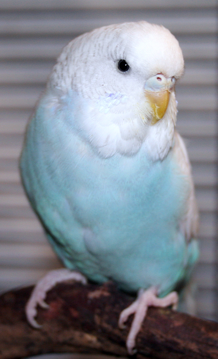 White Baby Parakeet Our Flock of Budgie Pa...