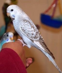 how to train a parakeet to like you