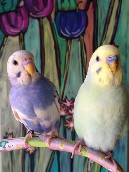 Happy Spring And Easter From Our Budgie Boys Puppies Are